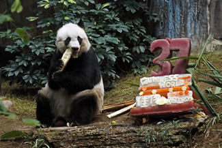 Giant panda Jia Jia eats bamboo next to her birthday cake made with ice and vegetables at Ocean Park in Hong Kong, as she celebrates her 37-year-old birthday.