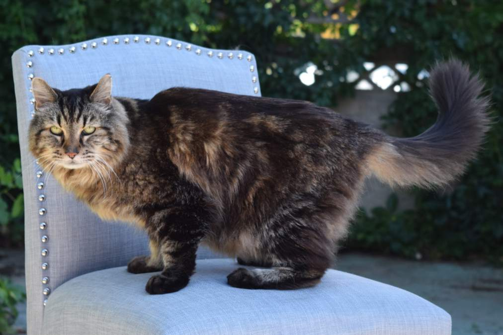 Biggest Cat In The World Guinness 2013 oldest living cat: corduroy breaks guinness world records record