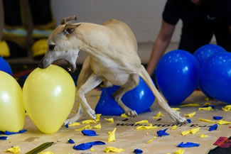 Toby the whippet, age 9, beat the Guinness World Record for popping 100 balloons in the fastest time, a record previously held by Twinkie the Jack Russell terrier.