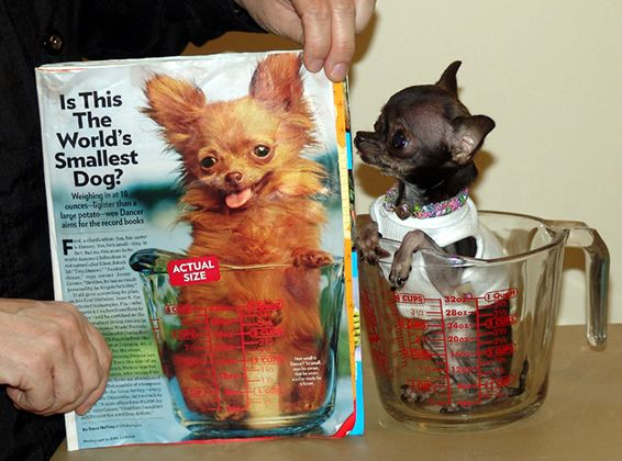 Smallest Dog In The World Ever Recorded